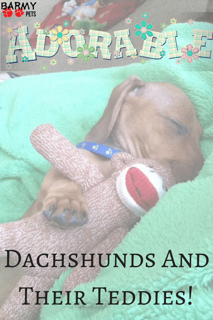 Dachshunds and their teddies