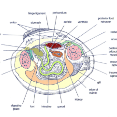 Crab Anatomy Diagram 2004 Nissan 350z Headlight Wiring Hard Clams Barnegat Bay