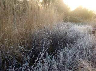 Grasses terrace in light frost