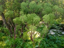 Spring angelica