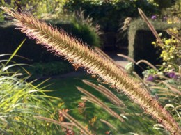 Pennisetum macrourum October