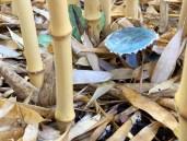 Blue mushroom fully opened