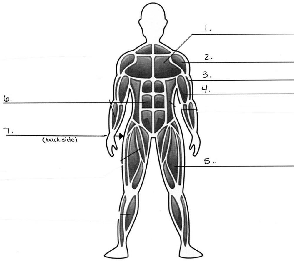 medium resolution of muscular system