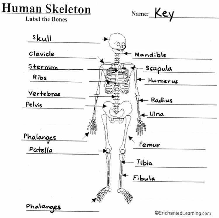 Skeletal System Coloring Book Answers