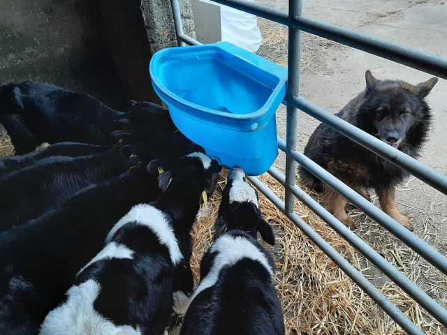 Calves drinking milk replacer