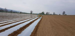 Field of maize under plastic