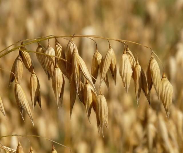 Ripe ear of oats