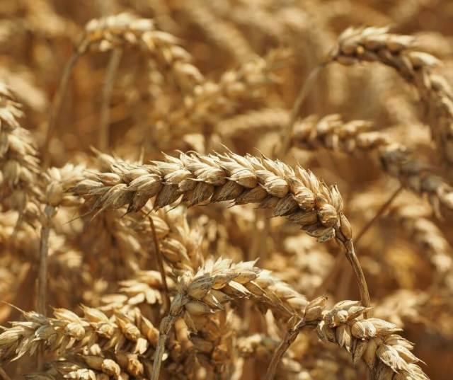 Ear of ripe wheat