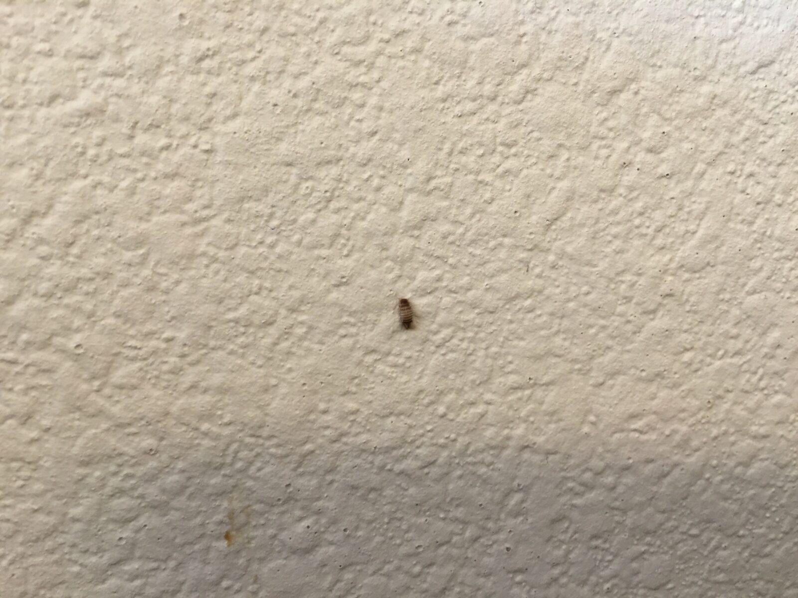 Carpet Beetle Infestation In Walls