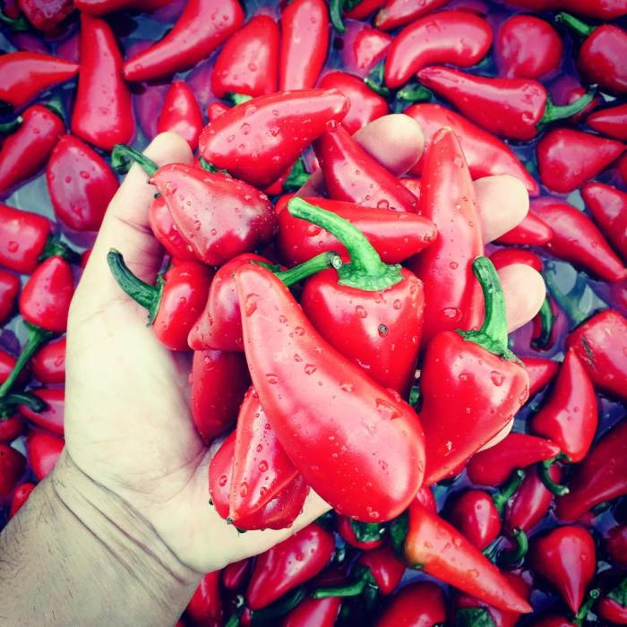 Fresh Chillis for the El Machete