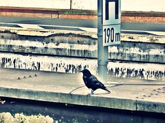 A miserable crow on a low German railway platform