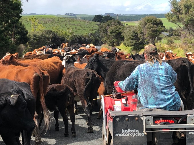 Cattle on the road in the Far North
