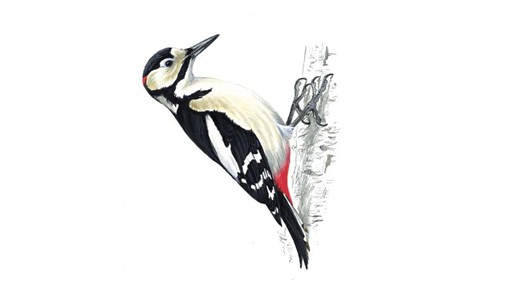 Great Spotted Woodpecker returns to Ireland