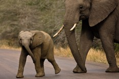 Young Elephant Showing Aggression as it crosses the road in Kruger National Park, South Africa