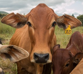 A Cow in The Dullstroom Farmlands, South Africa