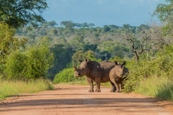 Rhinos in the Road