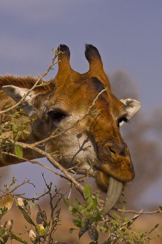 A Tasty Treat for a Giraffe