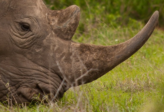 Grazing White Rhino