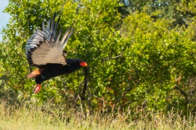 A Bateleur taking off