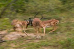 Impala Fight