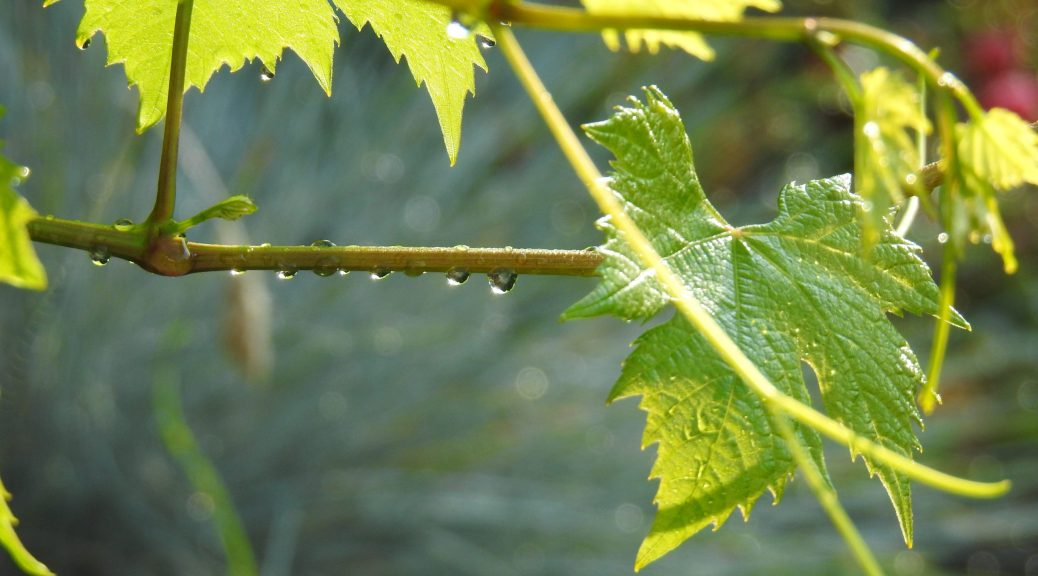 Druivenblad in het zonlicht