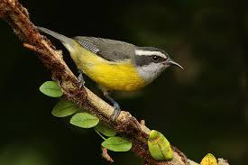 Maria Rosadinha, vogeltje ter grootte van een koolmees