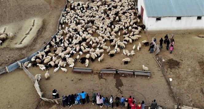 Depremzede çocuklar, koyun ve kuzuların duygusal buluşmasını izledi