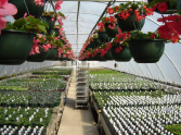 Rows of hanging begonias