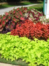 caladium red flash and white queen w sweet potato vine and red begonias