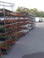 petunias surfinia red and surfinia white headed to UA