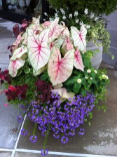 Caladium White Queen, blue scaevola, Coleus Trailing Burgundy