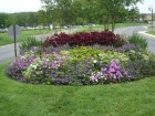 red coleus, blue scaevola, pink petunias, yellow lantana, cuban oregano