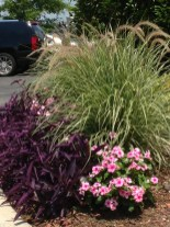 pink vinca, purple setcresea and maiden grass (miscanthus) at the drive thru