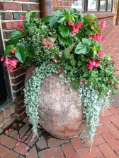 begonia dragon wing pink, euphorbia super flash, torenia rose moon, dichondra silver falls
