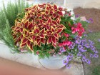coleus defiance, begonia dragon wing pink, blue scaevola with rosemary on left