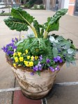 chard, violas and dusty miller