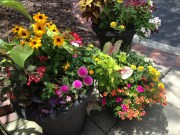 black-eyed susan, red-orange fuchsia gartenmeister, pink gomphrena pink dazzle, pale orange calibrachoa