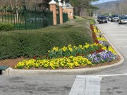 pansies and daffodils at Samford entrance
