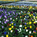 pansies in bloom