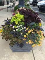 Coleus Vino (dark, purply red) with Coleus Wedding Train (trailing), and yellow coleus with Blackie Sweet Potato vine weaving through. The bloomers are white zinnia linearis, Petunia Cascadia Indian Summer, and yellow lantana