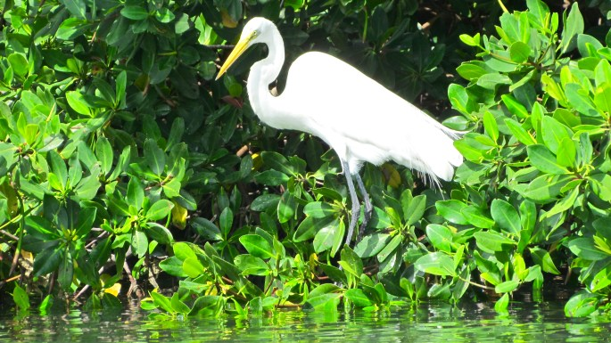 Great Egret – Version 5