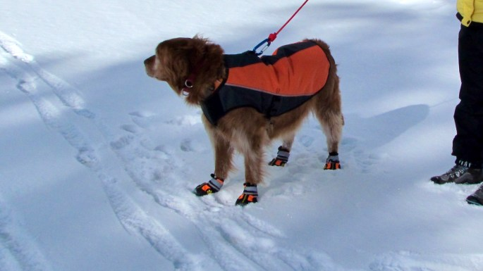 Aspen rocking her My Busy Dog -Secure Dog Boots