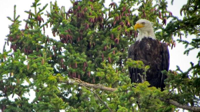 Bald Eagle on Henry's Lake ID