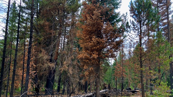 Trees are Dying of Thirst in the Western Drought
