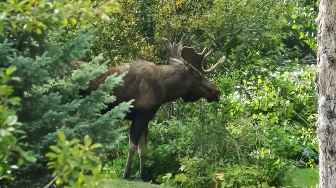 The North Inlet Moose