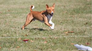 AKC CAT Lure Coursing Basenji