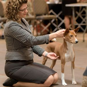 Basenji Conformation Showing