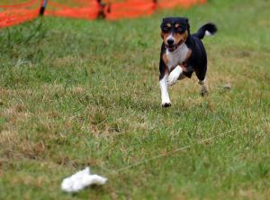 Basenji Club of Southeastern Wisconsin AKC Lure Coursing