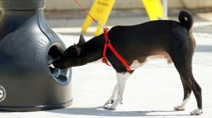 Nosework with basenjis
