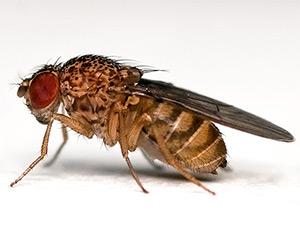 Drosophila (1)